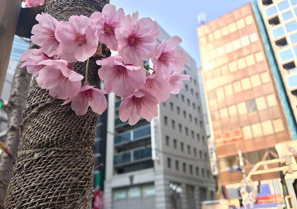 【桜の季節にご用心!花見であなたも逮捕されてしまうかも?!】